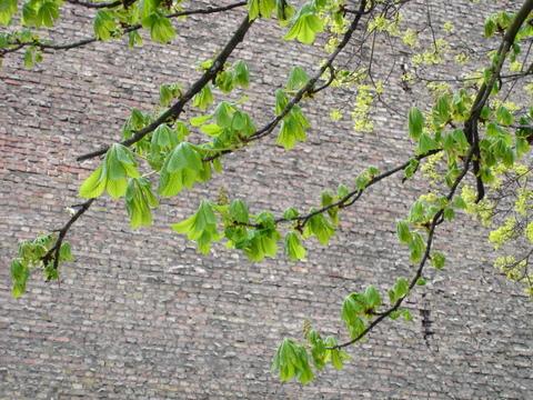 Leavesagainstabrickwallinmidspringberlindunckerstrasse