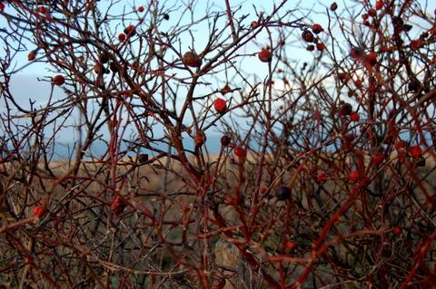 RosehipsorrowanberriesImnotsure