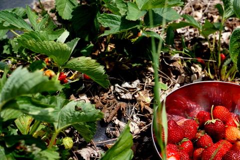 Tinystrawberriesinthefield