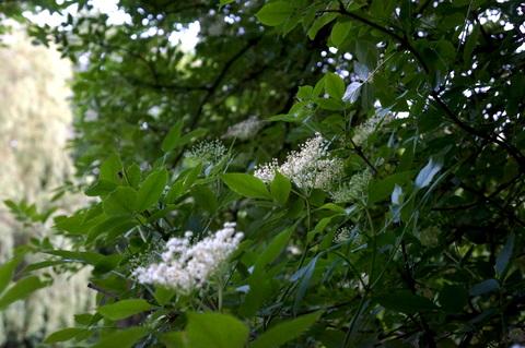 Elderflowersnewandold