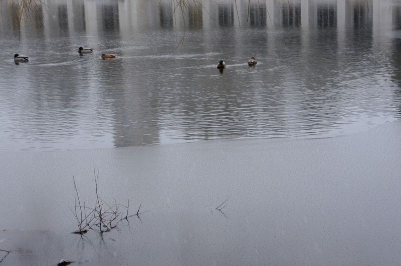 Lakeiceducksfronds