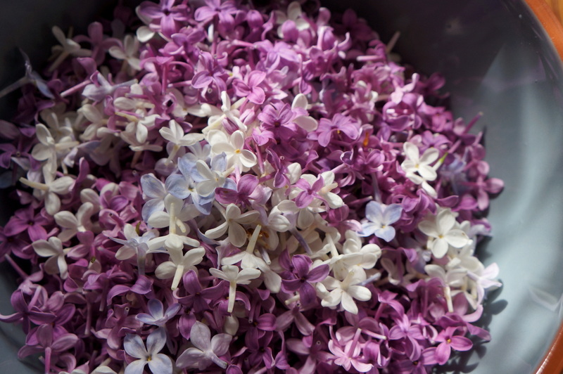Lilacs-plucked-blossoms