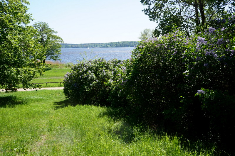 Lilac-bushes-wannsee