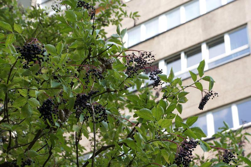 Elderberries-architecture