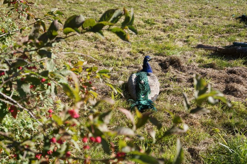 Peacock-island-berlin
