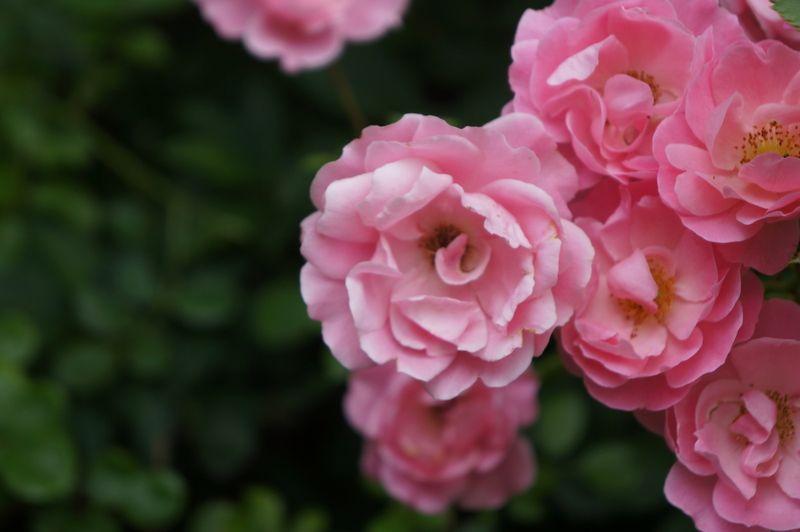 Pink-roses-berlin