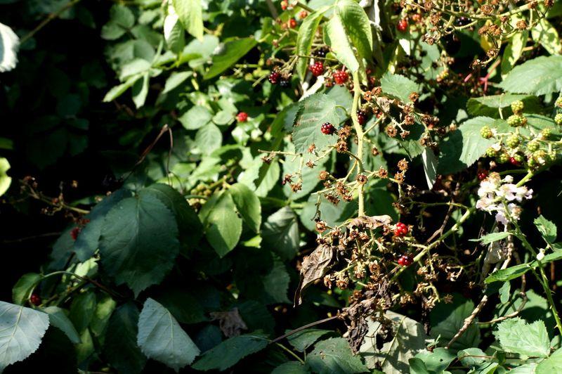 Berry-patch-sun
