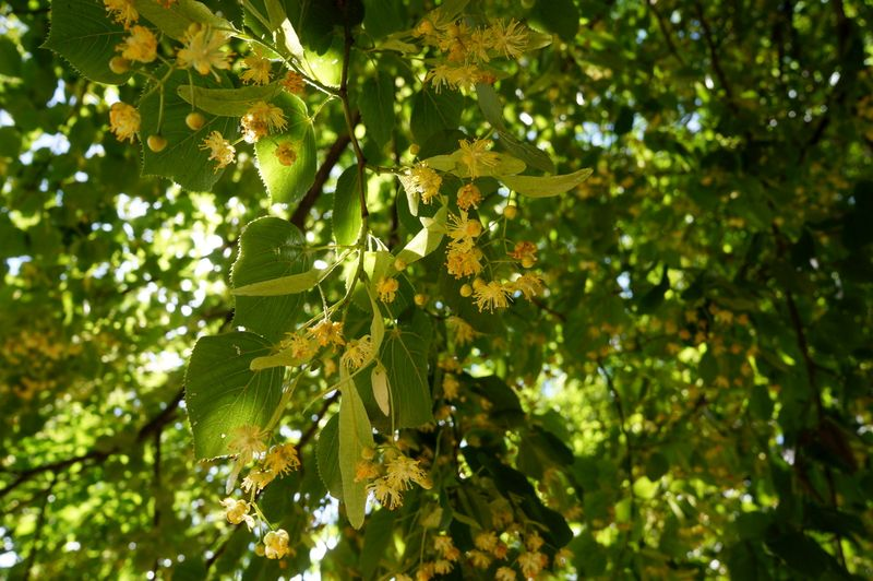 Linden-trees-flowers-berlin
