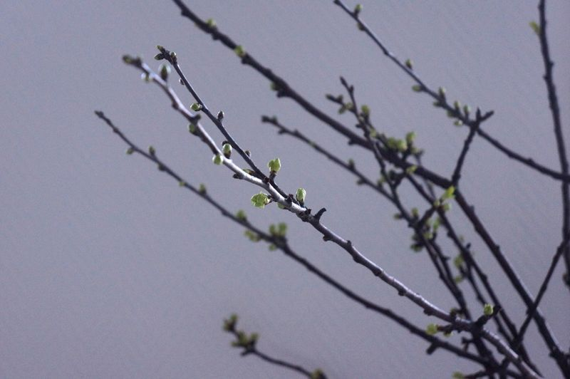 Cherry-tree-branches-buds
