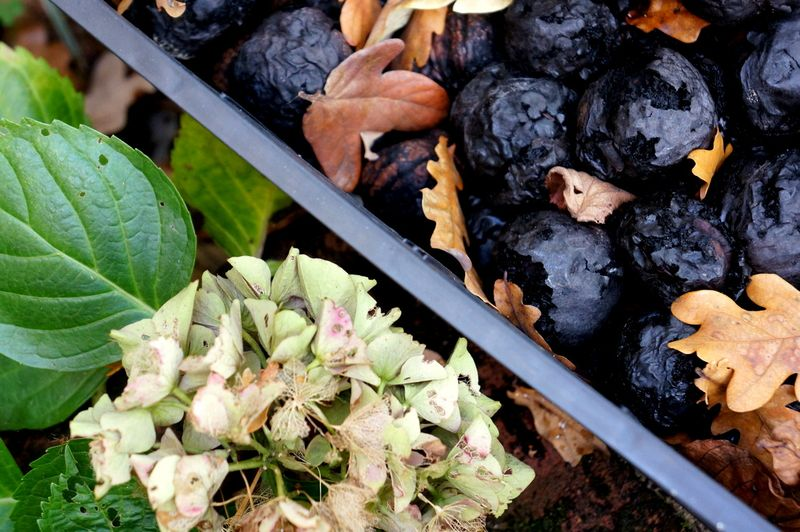 Hydrangeas-walnuts-leaves